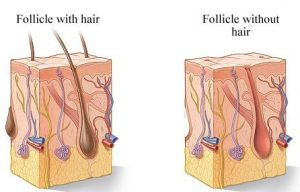hair-follicle