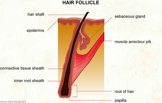 Follicle of Hair - They're Everywhere! Learn More About Hair