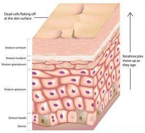 epidermis and dermal layers