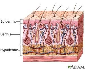 layers of dermis