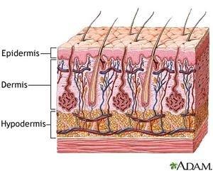 layers of dermis